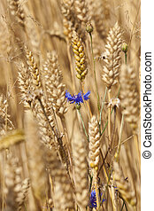 cornflower in the Rye