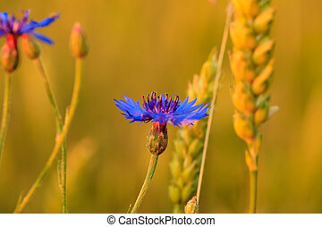 cornflower in wheat field close up