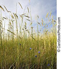cornflower in wheat field