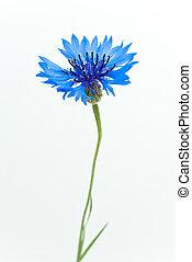 cornflower, isolado