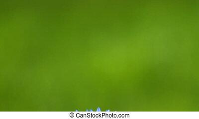 Cornflower on the green background with slider