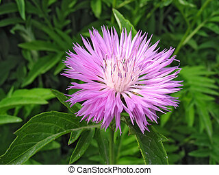 cornflower, planta perenne