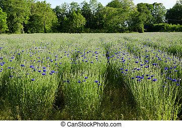 Cornflower rows