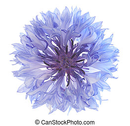 Studio Shot of Blue and Cyan Colored Cornflower Isolated on White Background. Large Depth of Field (DOF). Macro. National Symbol of Belarus and Germany.