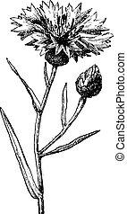 Cornflower, vintage engraving. - Cornflower, vintage...