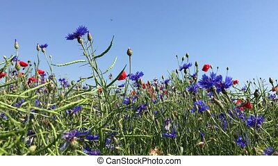 Cornflowers and red poppies against the blue sky, view of...