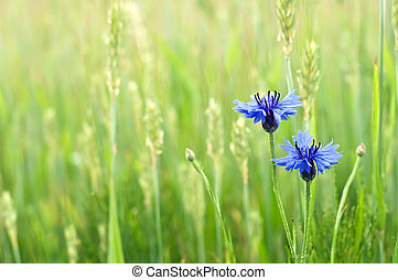 cornflowers in a field. summer time wallpaper.