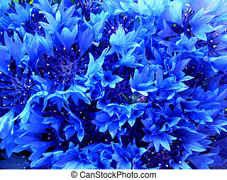 Cornflowers - Brite blue cornflower background