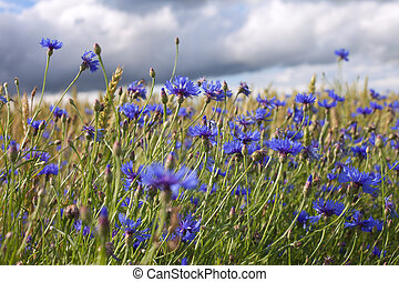 Cornflowers. - Cornflowers in wheat field.