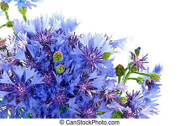 cornflowers - bunch of cornflowers. Over white background