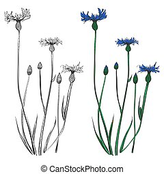 Cornflowers silhouettes and colorful isolated on white background