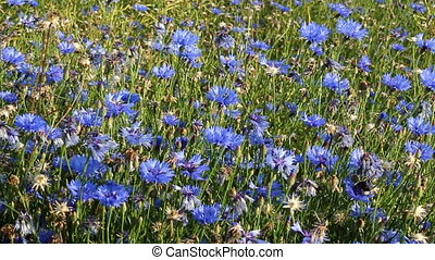 Cornflowers and bumble bee