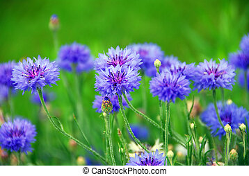 Cornflowers - Blue cornflowers on green background