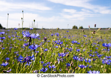 cornflowers on a field in summer time