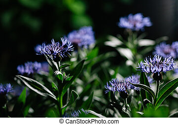 Cornflowers - Blue cornflowers in garden. Shallow depth of...
