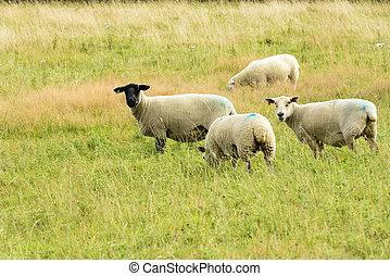 cornouailles, pâturage, mouton