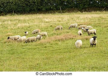 cornouailles, pâturage, mouton, troupeau