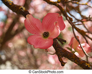 cornouiller, dans, printemps, closeup