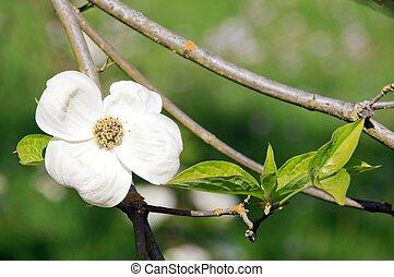 cornouiller, fleur, dans, spring.