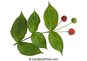 Cornus Kousa Dogwood Fruit and Leaf isolated on white...