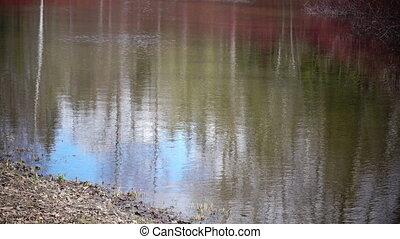 Cornus sanguinea, the common dogwood on the bank of a pond...