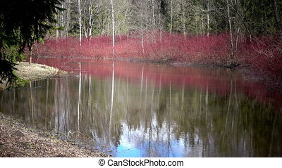 Cornus sanguinea, the common dogwood on the bank of a pond...