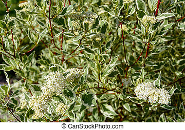 Cornusalba decorative garden tree turf white with small leaves