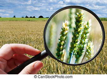 corny, akker, -, tsjech, landbouw, -, ecologisch, landbouw