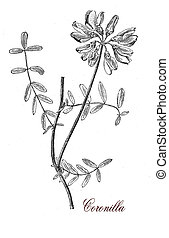 Coronilla, botanical vintage engraving - Coronilla is a...