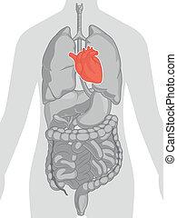 corpo, anatomia, -, cuore umano