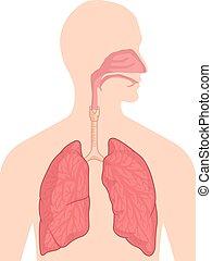 corpo, anatomia, respiratorio, -, sistema