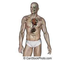corpo, anatomia, umano