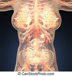 corpo, anatomia, umano, ossa, organi, trasparente