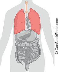 corpo, anatomia, -, umano, polmoni