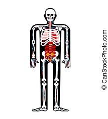 corpo, anatomy., scheletro, organs., illustrazione medica, systems., vettore, sistemi, umano, interno, uomo