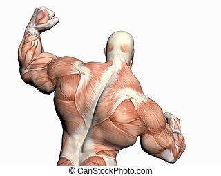corpo, builder., uomo, anatomia