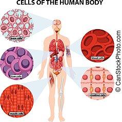 corpo, cellule, umano