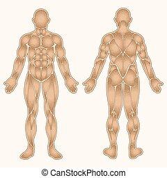 corpo, colorare, muscoli, umano