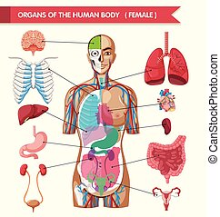 corpo, diagramma, organi, umano