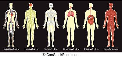 corpo, diagramma, sistemi, umano
