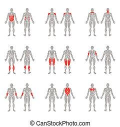 corpo humano, músculos