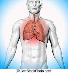 corpo, illustrazione, umano, polmoni, 3d