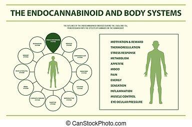 corpo, infographic, orizzontale, endocannabinoid, sistemi
