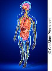 corpo, maschio, sistema, grafica, digestivo, nervoso