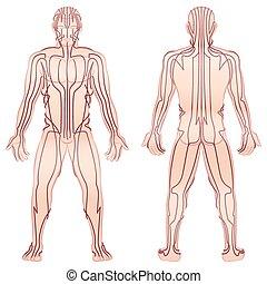 corpo, maschio, tcm, meridiani