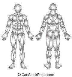 corpo, muscoli, silhouette, umano