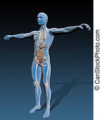 corpo, organi interni, umano