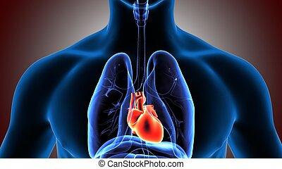 corpo, organi, umano, illustrazione, 3d