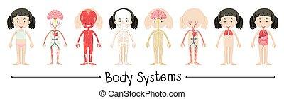 corpo, ragazza, sistemi, umano