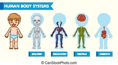 corpo, scientifico, illustrazione medica, sistemi, umano, bambini